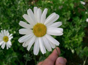 800px-Tanacetum_cinerariifolium1
